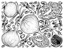 Hand Drawn Background of Fresh Figs and Pomegranate. Tropical Fruit, Illustration Background of Hand Drawn Sketch Delicious Fresh Figs or Ficus Carica and Stock Photos