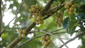 Tropical fruit lanzones, langsat stock video footage