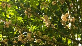 Tropical fruit lanzones, langsat. stock video footage