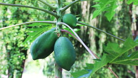 Tropical fruit papaya and breeze. Tropical fruit papaya ripening on the tree on a sunny summer day, Vietnam stock video footage