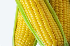 An important human staple food, maize is a highly nutritious crop, high starch as food raw materials, are miscellaneous grains,. One of the important human royalty free stock photos
