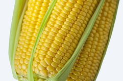 An important human staple food, maize is a highly nutritious crop, high starch as food raw materials, are miscellaneous grains, stock photography
