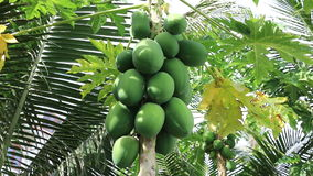 Tropical fruit papaya. Ripening on the tree on a sunny summer day stock video footage