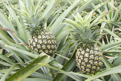Tropical fruit in pineapple field Royalty Free Stock Photo