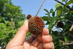 Tropical fruit the pulasan, Nephelium mutabile Blume from family Sapindaceae Stock Image