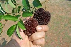 Tropical fruit the pulasan, Nephelium mutabile Blume from family Sapindaceae Royalty Free Stock Photos
