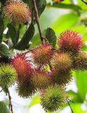 Tropical fruit, Rambutan fruits Stock Photo