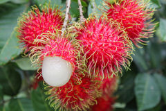 Tropical fruit, Rambutan on tree Royalty Free Stock Photos