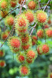Tropical fruit, Rambutan on tree Royalty Free Stock Photo