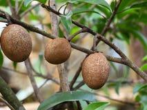 Tropical fruit, Sapodilla Royalty Free Stock Photography
