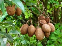 Tropical fruit,Sapodilla Stock Photography
