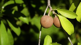 Sapodilla fruit on tree. Tropical fruit sapodilla on tree branch. Tropical plant sapodilla with brown fruits and green leaves stock video