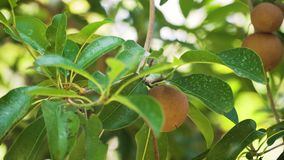 Sapodilla fruit on tree. Tropical fruit sapodilla on tree branch. Tropical plant sapodilla with brown fruits and green leaves stock footage