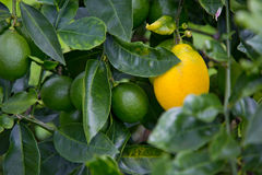 Tropical Fruit Tree with Ripening Fruit Royalty Free Stock Photos