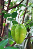Tropical Star Fruit Tree Royalty Free Stock Image