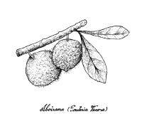 Hand Drawn of Aboirana Fruits on White Background Royalty Free Stock Photo
