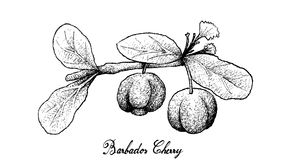 Hand Drawn of Barbados Cherries on White Background Stock Image
