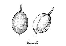 Hand Drawn of Mamoncillo Fruits on White Background. Tropical Fruits, Illustration of Hand Drawn Sketch Fresh Mamoncillo, Spanish Lime, Ackee or Melicoccus Royalty Free Stock Image