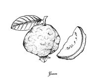 Hand Drawn Of Fresh Guava On White Background Tropical Fruits Illustration