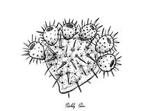 Hand Drawn of Fresh Ripe Prickly Pears. Tropical Fruits, Illustration of Hand Drawn Sketch Ripe and Sweet Prickly Pear or Indian Fig Opuntia Fruits Isolated on Stock Photography