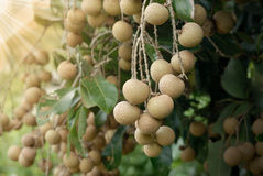 Tropical fruits longan Stock Photo