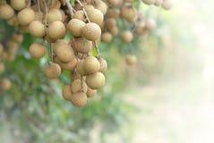 Tropical fruits longan Stock Photos