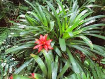 Garden with bromeliad bush with red flower. Tropical garden with bromeliad bush in red flower royalty free stock image