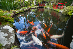 Tropical Garden Monte Palace, Lake with Koi Stock Images