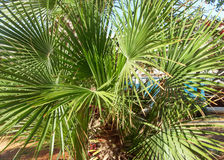 Tropical garden. Palm tree with round leaves Stock Photos