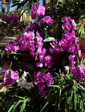 Tropical garden, with purple-pink phalenopsis orchids in bloom. Tropical garden, with purple-pink orchids Royalty Free Stock Photography