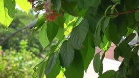 Tropical garden in Saigon, Vietnam. Combretum indicum tree and flowers in Tao Dan garden in Saigon, Vietnam stock video footage