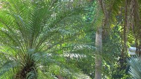 Tropical garden in Saigon, Vietnam. Palm trees planted in Tao Dan garden in Saigon, Vietnam stock video