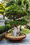 Tropical garden tree. Stock Photography