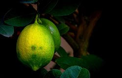 Close up of a green lime fruit in the garden. Tropical garden view with details and textures of a green lime fruit stock image