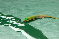 Tropical Gecko Royalty Free Stock Photography
