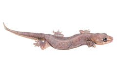 Tropical gecko lizard isolated