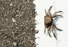 A tropical ghost crab on the new road Stock Image