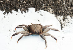 A tropical ghost crab on new road Royalty Free Stock Photography