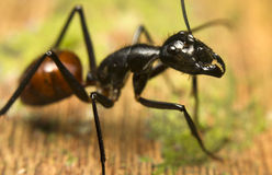 Tropical giant ant Royalty Free Stock Photo