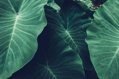 Tropical Giant taro leaf texture concept nature dark green background. Tropical plant of Giant taro leaf texture concept nature dark green background royalty free stock photo