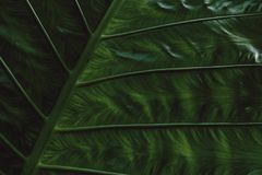 Tropical Giant taro leaf texture concept nature dark green background. And wallpaper stock image