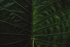 Tropical Giant taro leaf texture concept nature dark green background. And wallpaper stock images