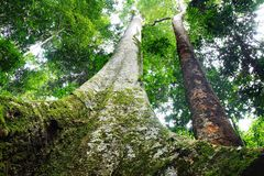 Tropical gigantic tree. Stock Photography