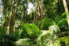 Tropical gigantic tree. Looking up at gigantic tree trunk in the rainforest Stock Image