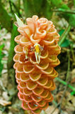 Tropical ginger flower Royalty Free Stock Images