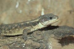 Tropical girdled lizard. The detail of tropical girdled lizard Stock Photos