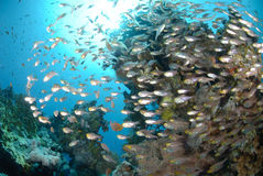 Tropical Glass fish. Swarm around a pinnacle Stock Photography