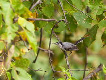 Tropical Gnatcatcher on a twig Royalty Free Stock Image