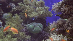 Tropical gold fish swim in Coral in Eilat Israel stock video footage
