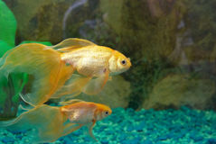 Tropical golden fish Royalty Free Stock Image